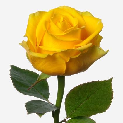 Желтая роза 60 см Саратов