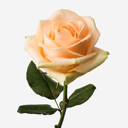 Персиковая Роза Саратов