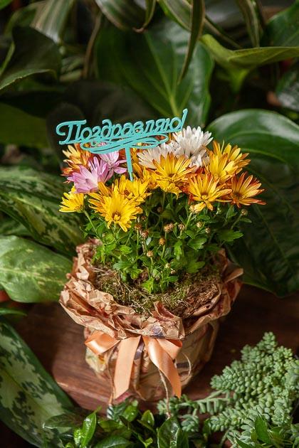 Хризантема в Горшке в Подарочной Упаковке Поздравляю купить с доставкой по Саратову