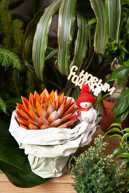 Эхиверия Крашеная в Новогодней Упаковке, Фото