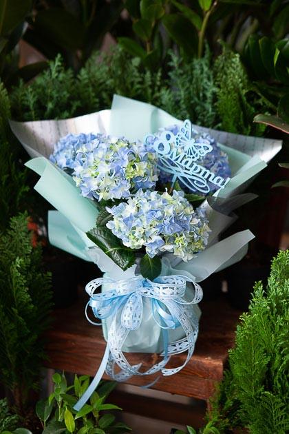 Гортензия горшечная в Подарочной упаковке Саратов