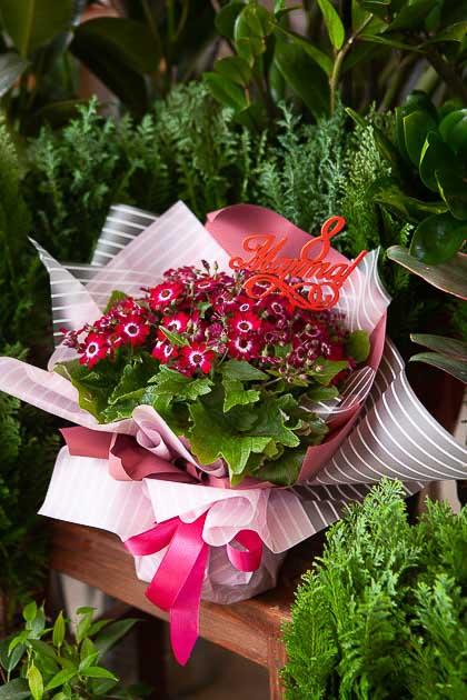 Цинерария Цветущая горшечная в подарочной упаковке Саратов