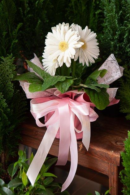 Гербера горшечная в Подарочная упаковка Саратов