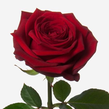 Роза Ред Наоми 60 см