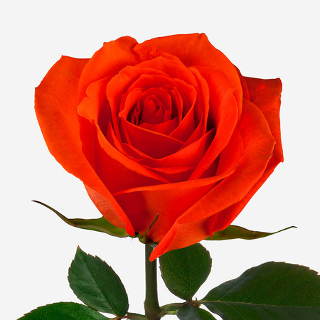 Роза оранжевая поштучно