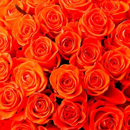 Роза оранжевая Саратов