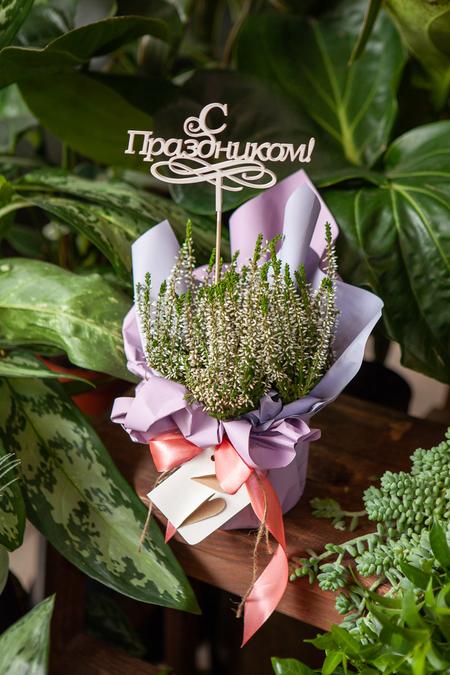 Вереск в Горшке в Подарочной упаковке с Праздником ПЛАНЕТА ЦВЕТОВ Саратов