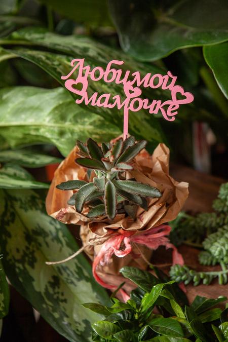 Суккулент в Гошке в Подарочной Упаковке Любимой Мамочке купить с доставкой по Саратову