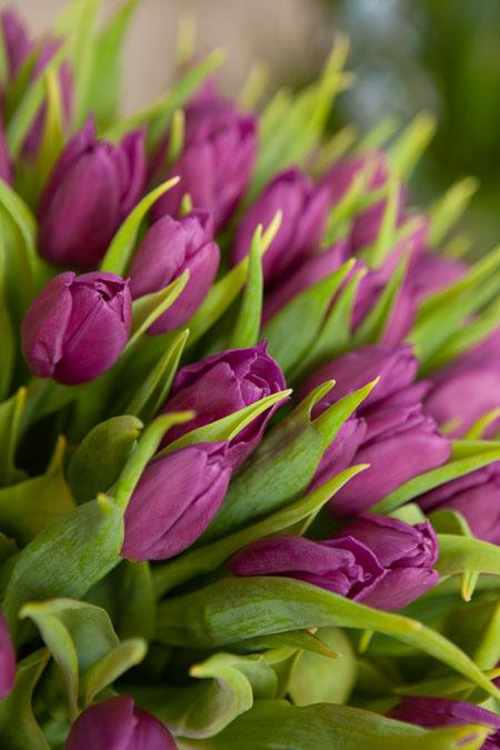 Тюльпан Фиолетовый Пёрпл Принц Саратов - фото 2