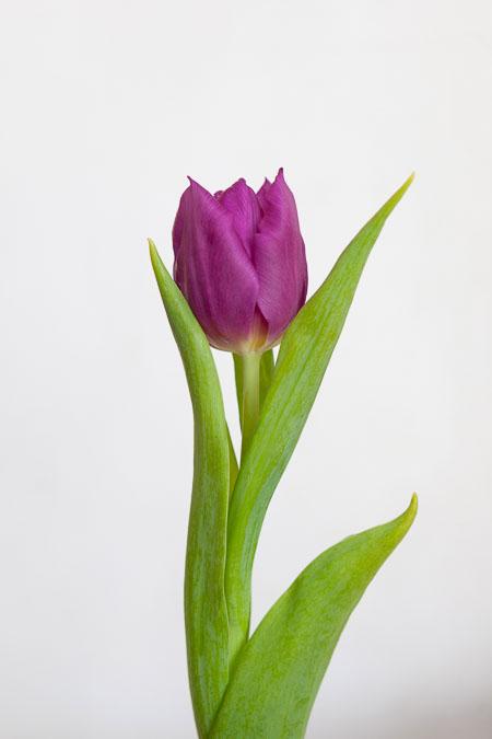 Тюльпан Фиолетовый Пёрпл Принц Саратов